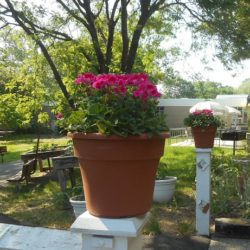 Geranium plants from Mr. Duffy in memory of his mother. His mother loved sitting on the patio. She always commented on how lovely the flowers and trees were in the garden.